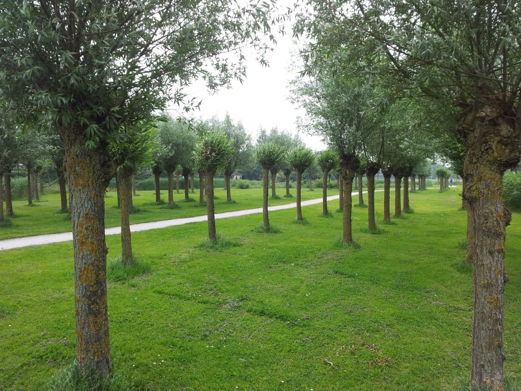 willows pollarded in different years. Picture shows willows in a park.